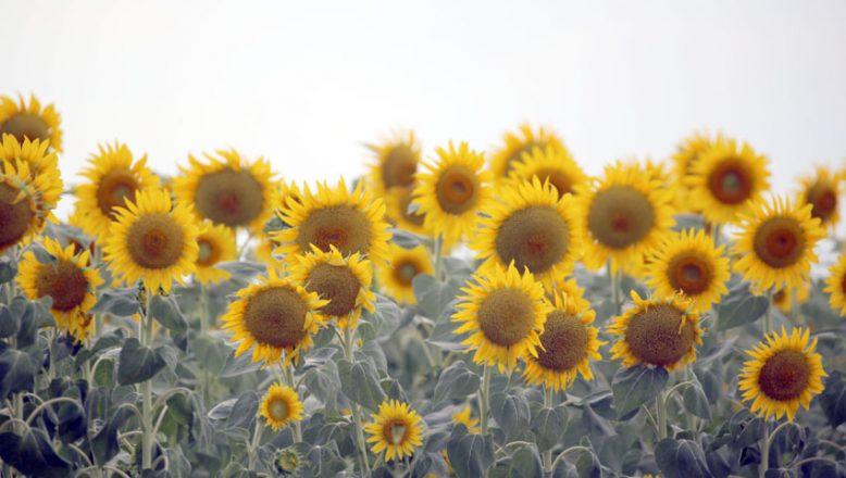 """""""Doğanın sarı gelini"""" çiçeklendi"""