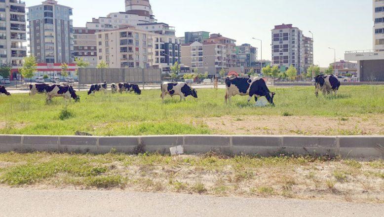 Atlardan sonra şimdi de inekler