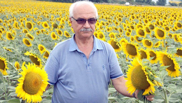 Yağışlar ayçiçeği üreticisini sevindirdi