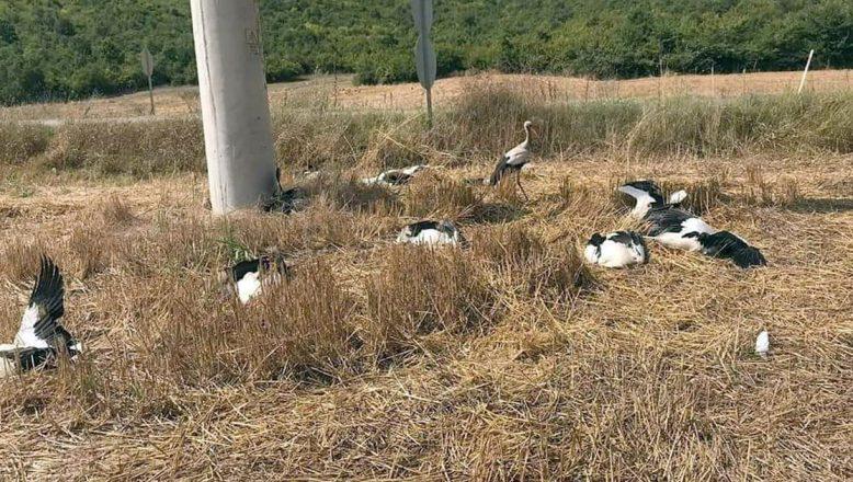 Tekirdağ'da leyleklerin ölme nedeni araştırılıyor