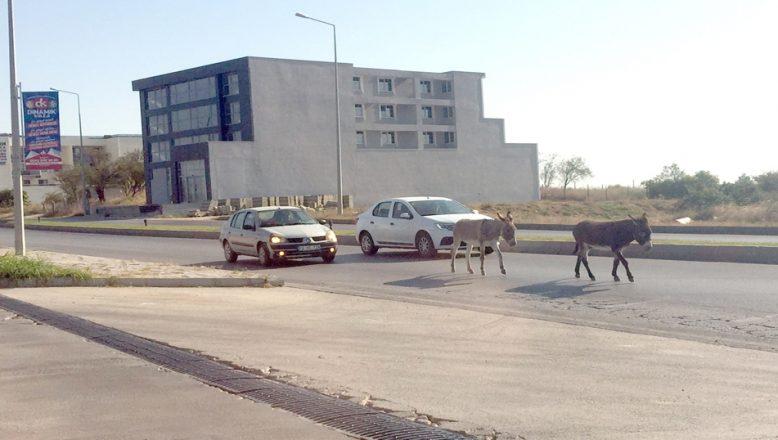 Eşekler trafiği birbirine kattı