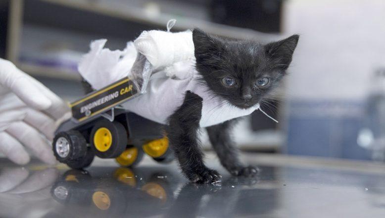 Bacakları tutmayan kedi ilk adımını yürüteçle attı