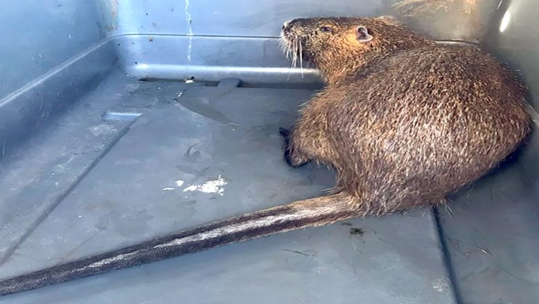 Kırklareli'nde yaralı halde su maymunu bulundu