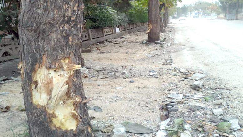 Kaldırım çalışmalarında ağaçlar zarar gördü