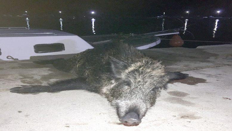 Denizden balık yerine domuz çıktı