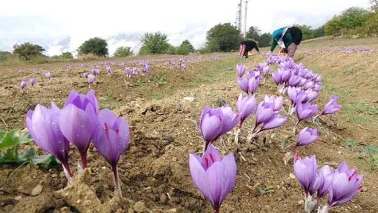 Bulgaristan'da safran hasadı başladı