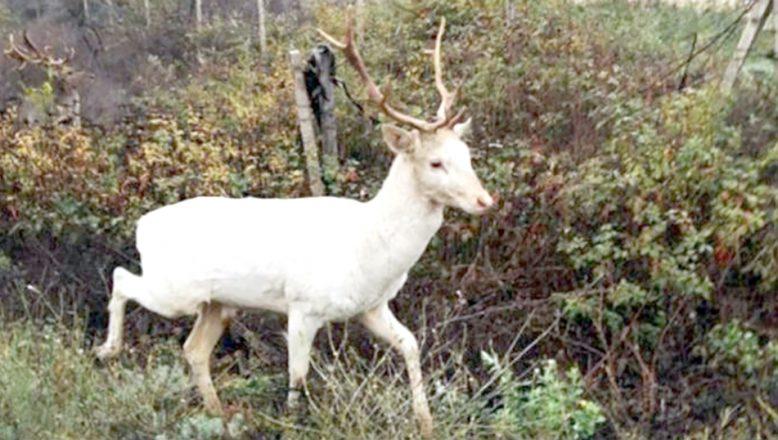Beyaz Geyik görüntülendi