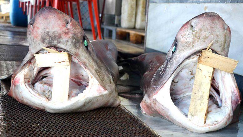 Balıkçıların ağına iki köpek balığı takıldı