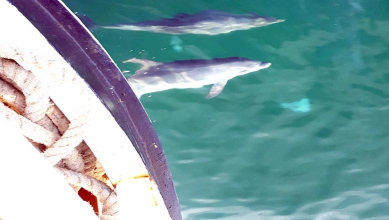 Yunuslar, balıkçılara eşlik etti