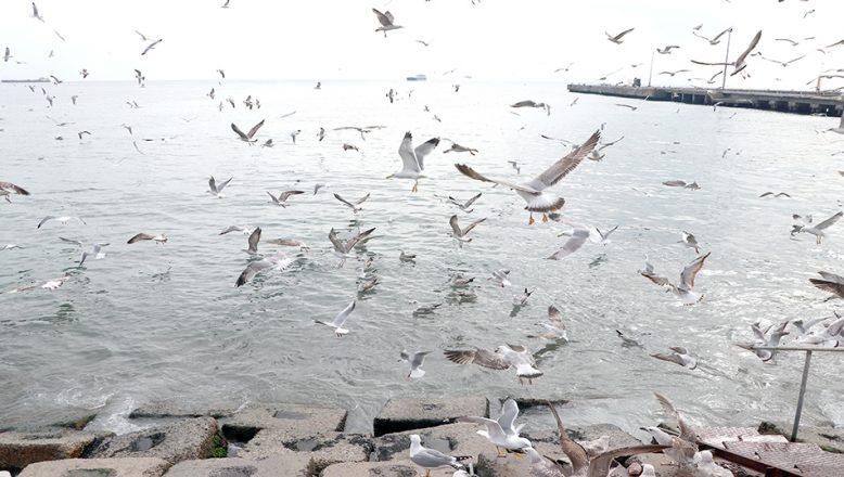 Martıların balık kapma mücadelesi