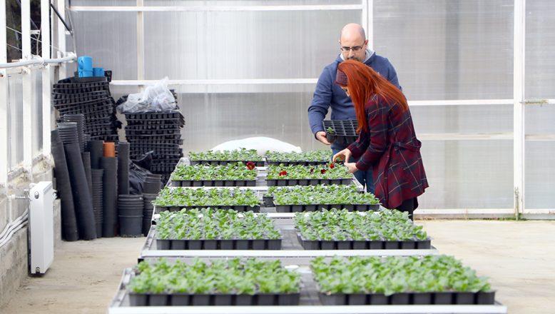 Ziraatbiyotek biriminde üretilen çiçekler park ve bahçeleri süsleyecek