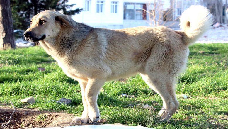 Hayvanseverlerin, ayağı kırık Çavuş'un tedavi ettirilmesi talebi