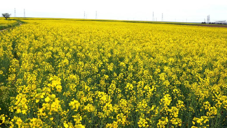 Trakya'da, 'Sarı Bahar'