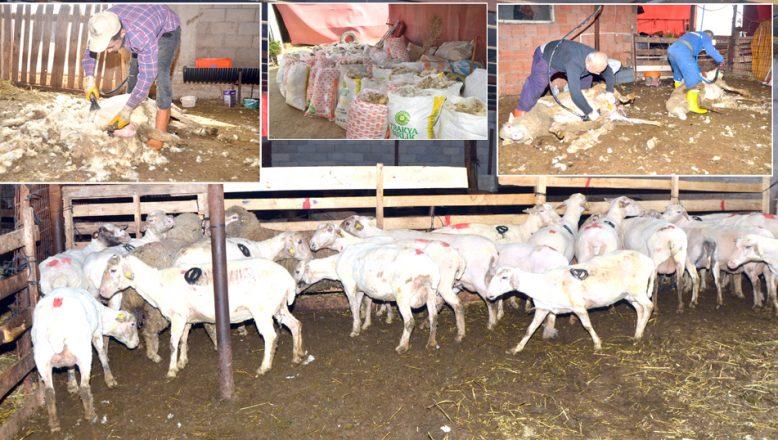 Trakya'da, koyun kırkma telaşı başladı