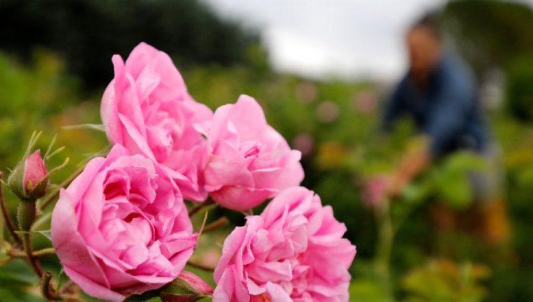 Gül üreticileri 3000 ton gül çiçeği topladı