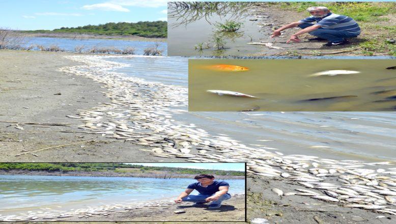 Çokal Barajı'nda, çok sayıda ölü balık, kıyıya vurdu