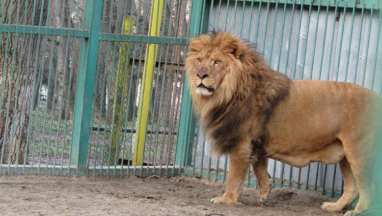 Razgrad Hayvanat Bahçesi'ndeki aslan Lübo diyete girecek