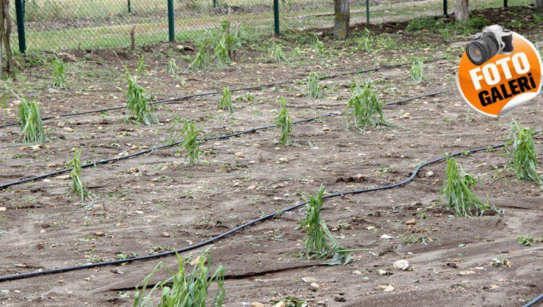Bazı köylerde ekili alanları dolu vurdu