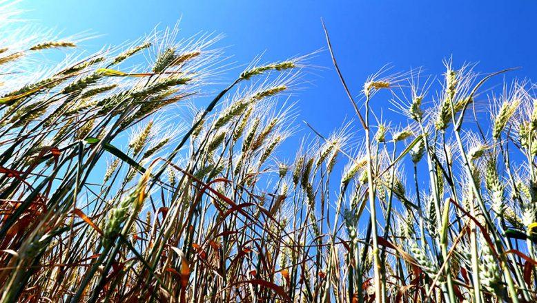 Son yağışlar ekinleri başaklarla doldurdu
