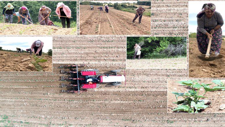 Lezzetini, Istranca Dağları'ndan alan fasulye, binbir emekle yetiştiriliyor