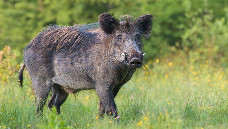 """Çiftçilere """"domuz"""" uyarısı!"""