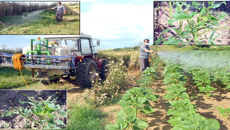 Bazı ayçiçeği tarlalarında, çekirge istilası