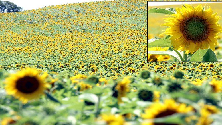 Trakya'da, Sarı gelin'in uyanışı büyülüyor
