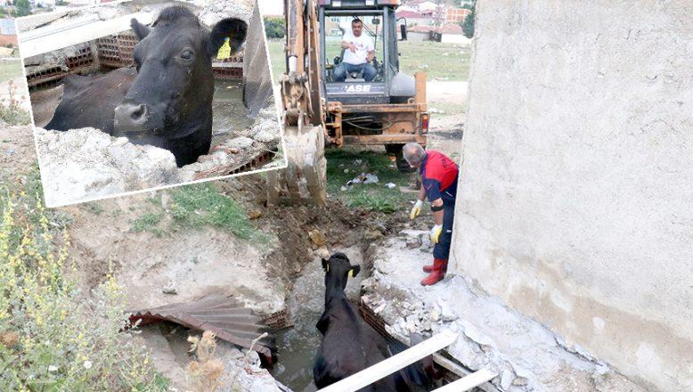 Kanalizasyona düşen inek kurtarıldı