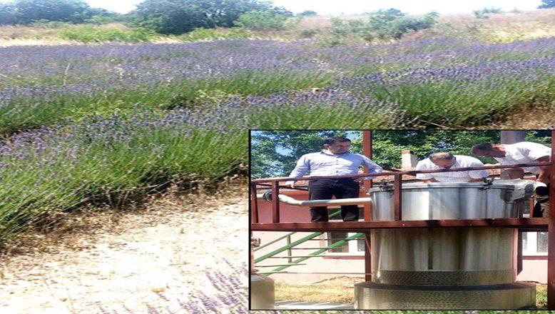 Lavanta ekiminin yaygınlaştırılması hedefleniyor