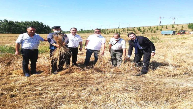 10 bin yıllık siyez buğdayının hasadı yapıldı