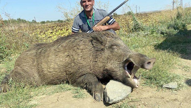 280 kiloluk yaban domuzu avlandı
