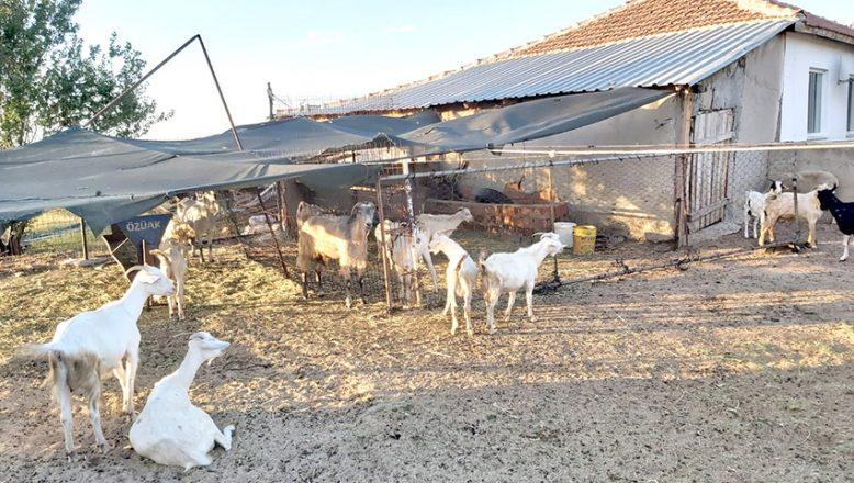 Parayı havale yapmış gibi gösterip, 44 keçiyi aldılar
