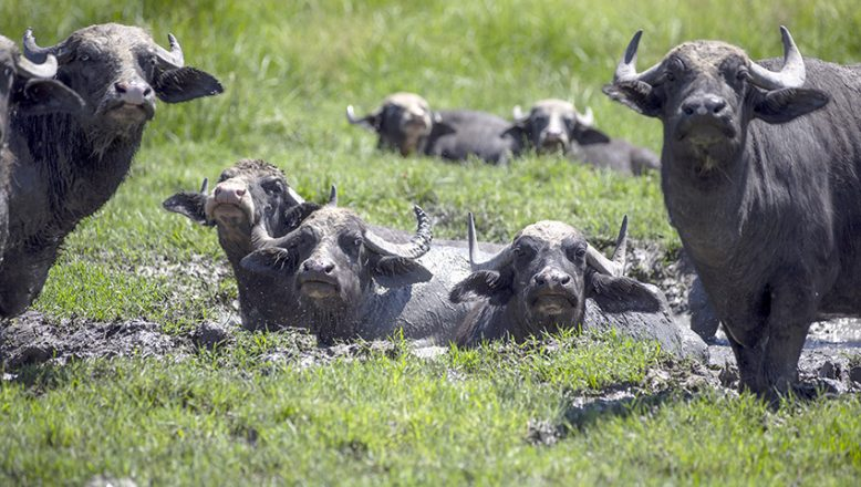 Gölbaba'nın su ve çamurunda 30 yıldır manda yetiştiriyor