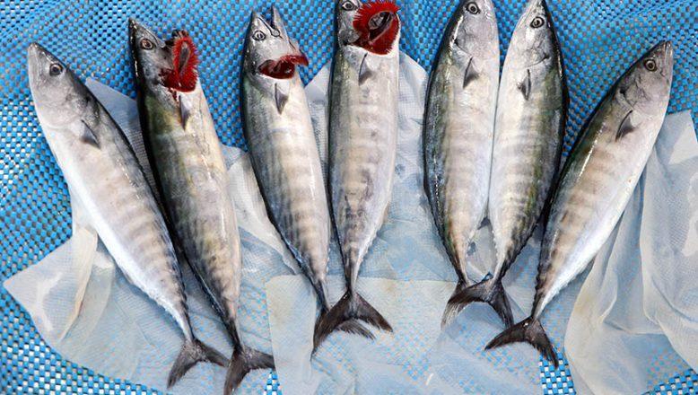 Palamut balığı tezgahları süslemeye başladı