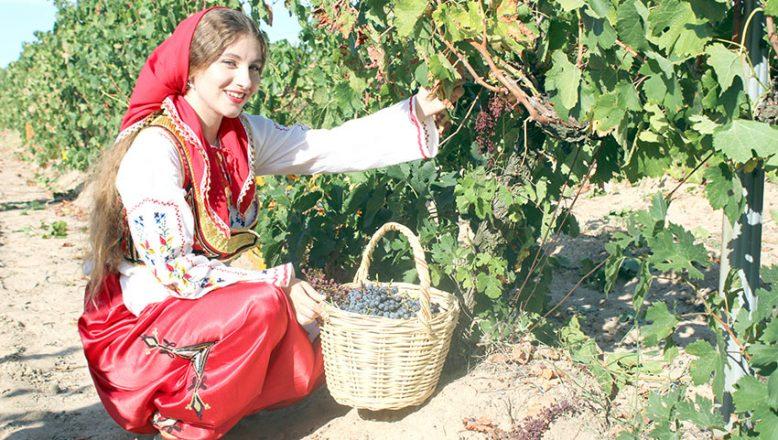 Bağlarda üzüm hasadı başladı