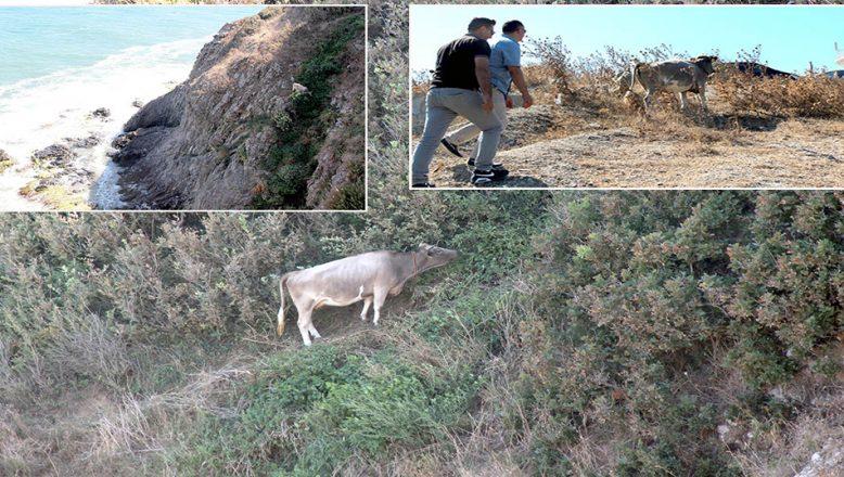 Sarp kayalıkta otlanan inek için seferber oldular