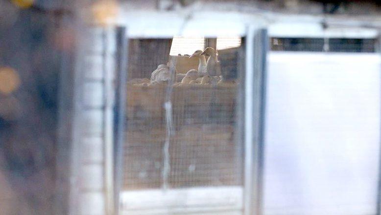 Hollanda'da, 'kuş gribi' paniği