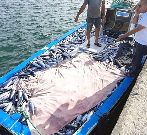 Karadeniz'de, palamut bereketi