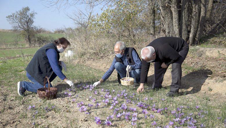 Edirne'de safran hasadı başladı