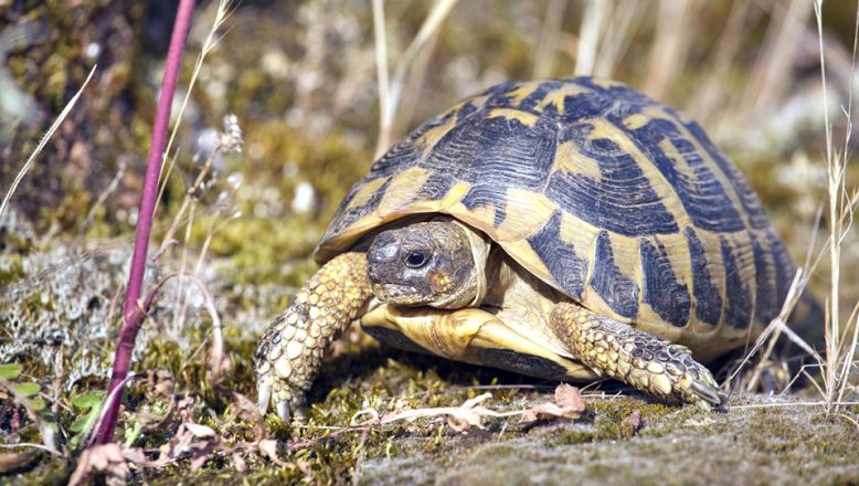 'Trakya Tosbağası'nın yaşam alanları belirlendi