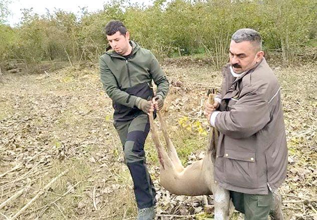 Avcılar, yaralı karacayı kurtardı