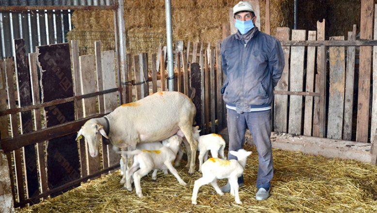 Koyun, 5'iz doğurdu