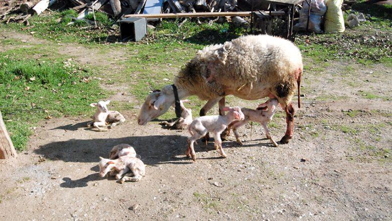 Tek batında altı kuzu doğurdu