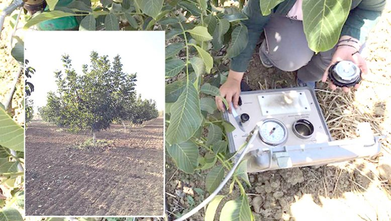 Ceviz ağaçlarının su kullanımı analiz edilecek