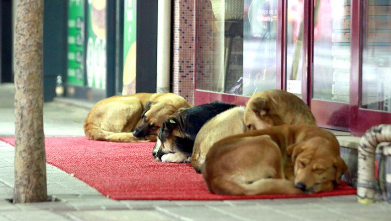 Kırmızı halı da yatan köpekler dikkat çekiyor