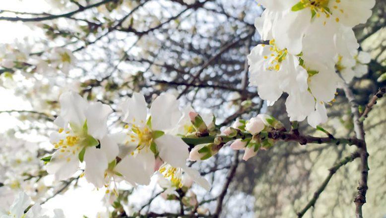 Meyve ağaçları çiçeklendi
