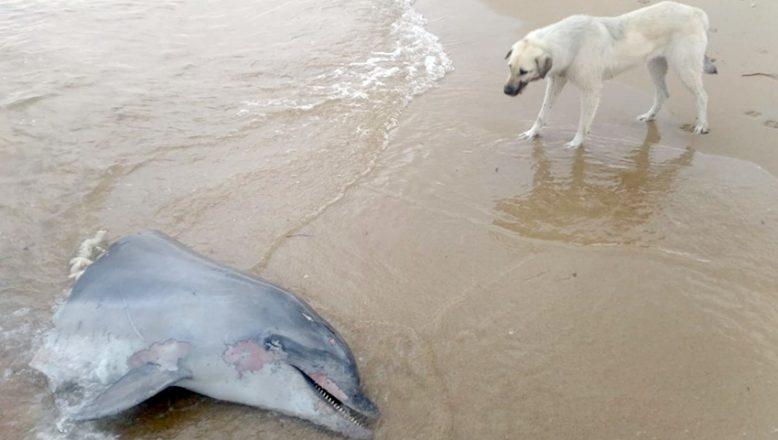 Telef olmuş bir yunusun kafası sahile vurdu