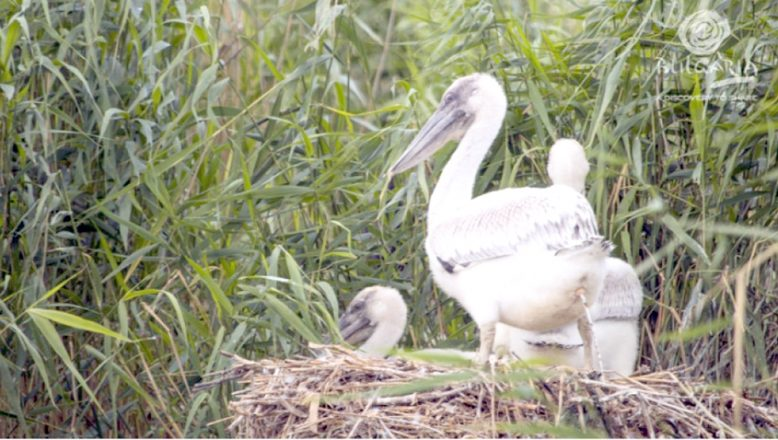 Pelikanlar yumurtadan çıktı