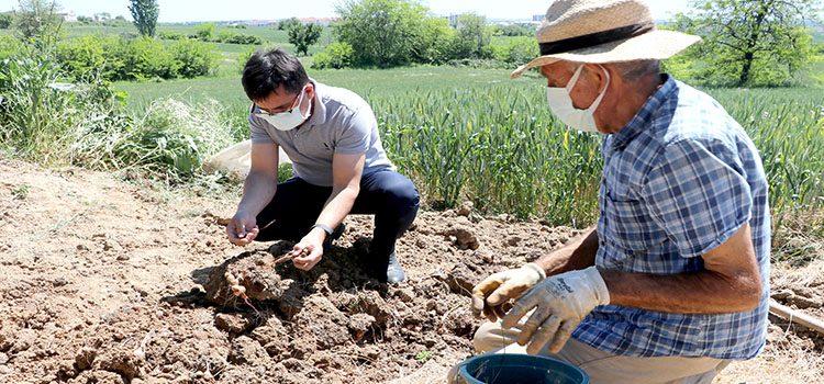 Safran soğanın hasadına başlandı