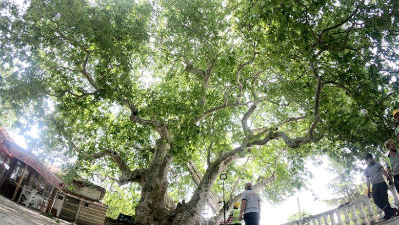 Anıt ağaçlar özel bakıma alındı